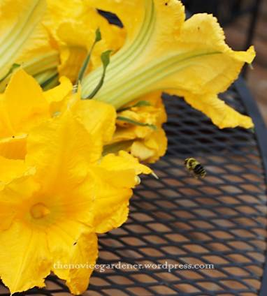 bumblebee and zucchini blossoms