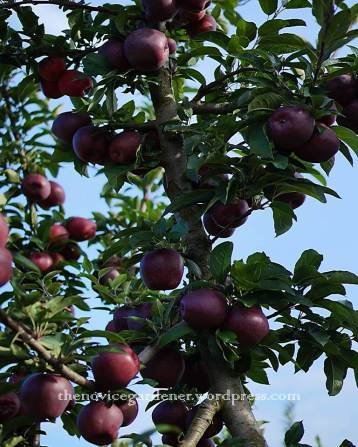 red apples on tree