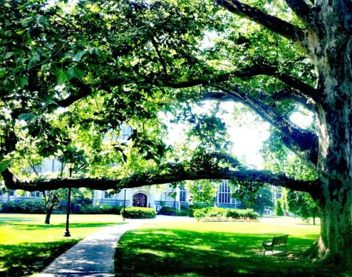 Gigantic tree in front of the Thompson Memorial Library at Vassar