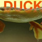 duck-banner2