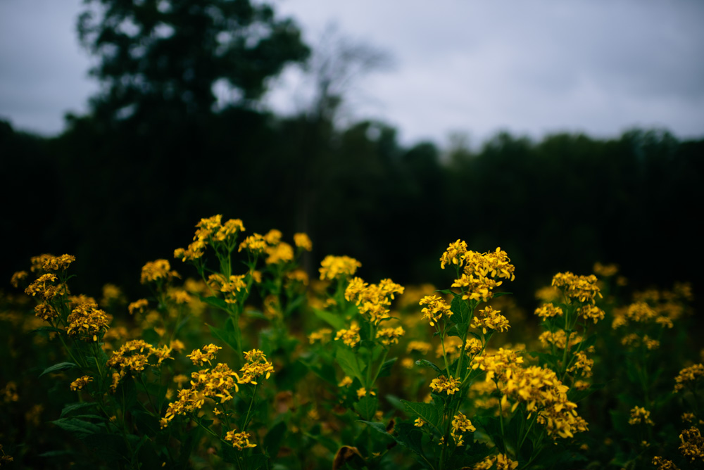 goldenrod flowers benedict haid farm wedding