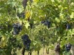 The vineyard next to Ca'Rossa B&B