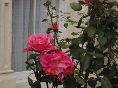 Roses in the neighborhood