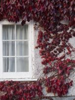 Blood red ivy in Oxford