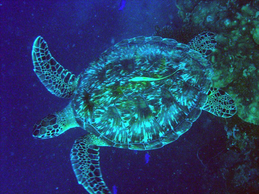 Cebu Moalboal Turtle