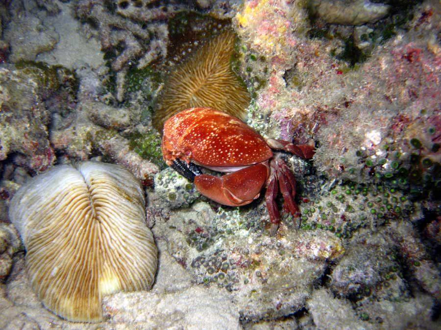 Redang Diving Crab