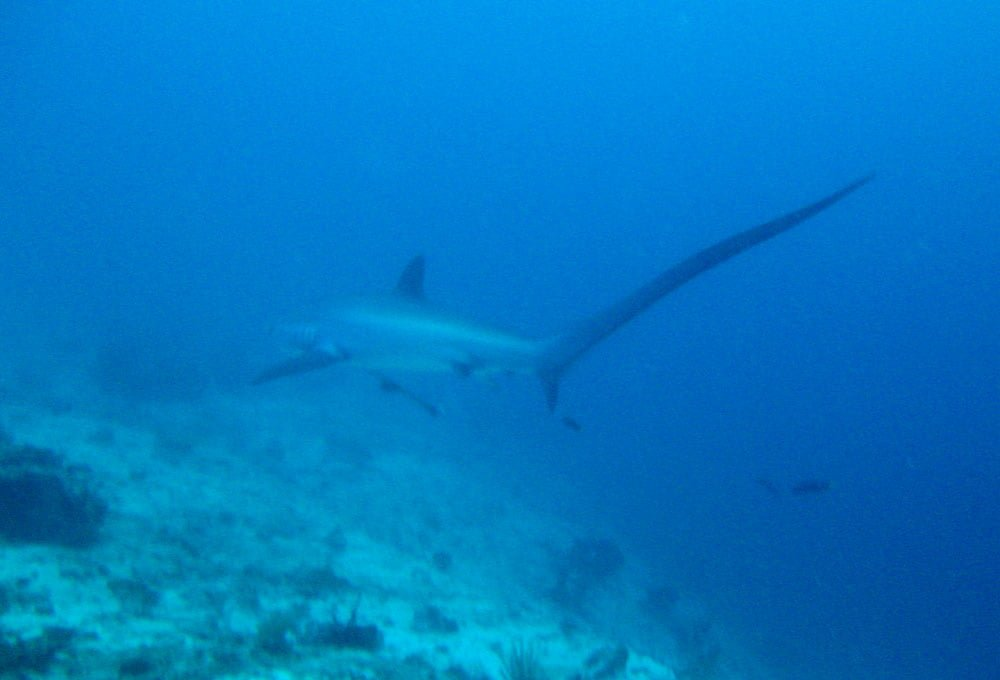 Cebu Malapascua Thresher Shark