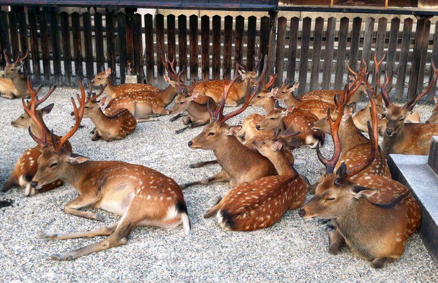 Japan Nara Deer Many