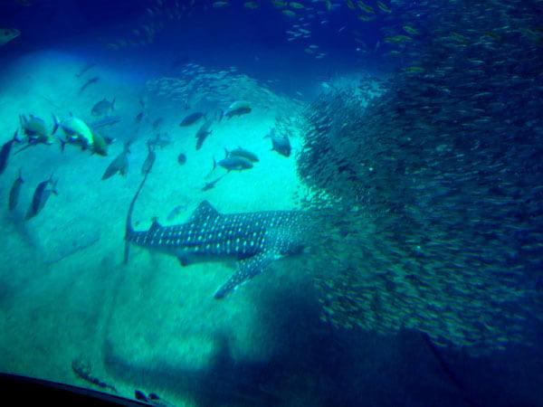 Osaka - Kaiyukan Whale Shark