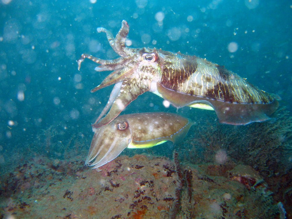 Tioman Wreck Diving Cuttlefish Pair