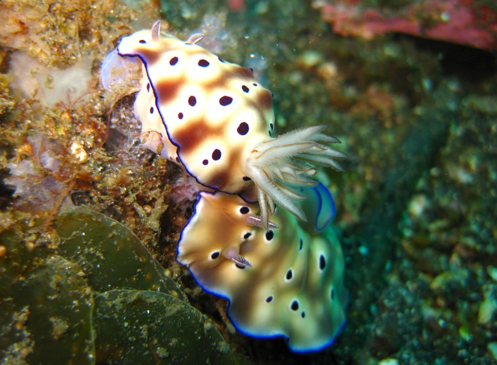 Lembeh Diving Nudibranch Pair Spotted