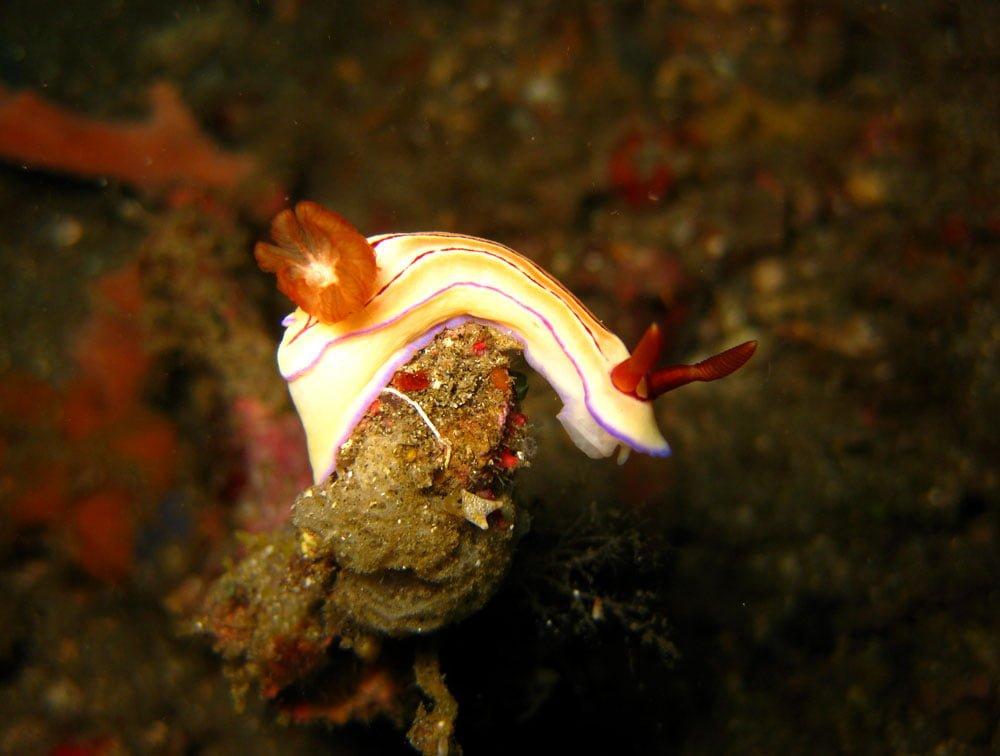 Lembeh Diving Nudibranch White Rock