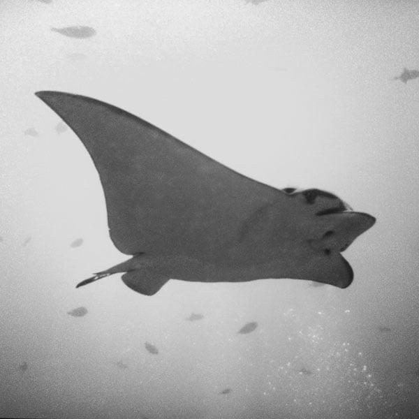 Maldives - Baby Eagle Ray