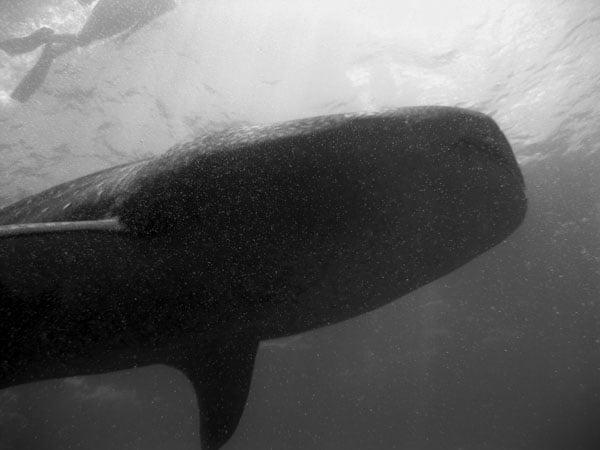 Maldives Whale Shark