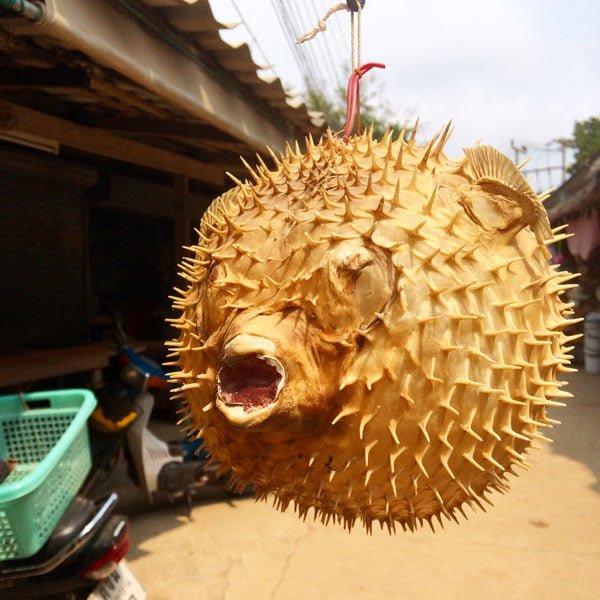 Koh Samui - RNavigator Hinta Hinyai Puffer Fish