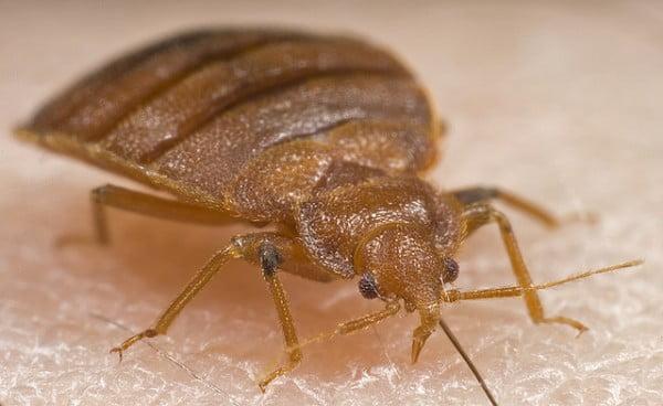 Bed Bugs - Close Up AFPMB