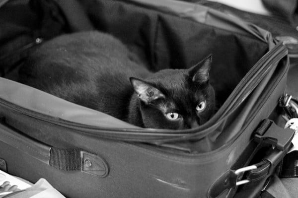 Cat Luggage - DanH