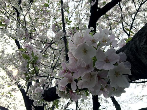 Tokyo Imperial Palace Sakura Close up