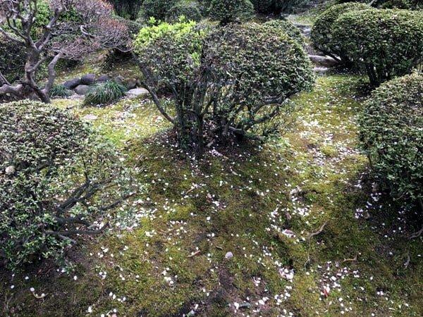 Tokyo Kaikyo Korakuen Sakura Petals