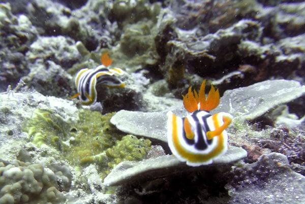 Philippines Anilao Yellow Nudibranch Pair