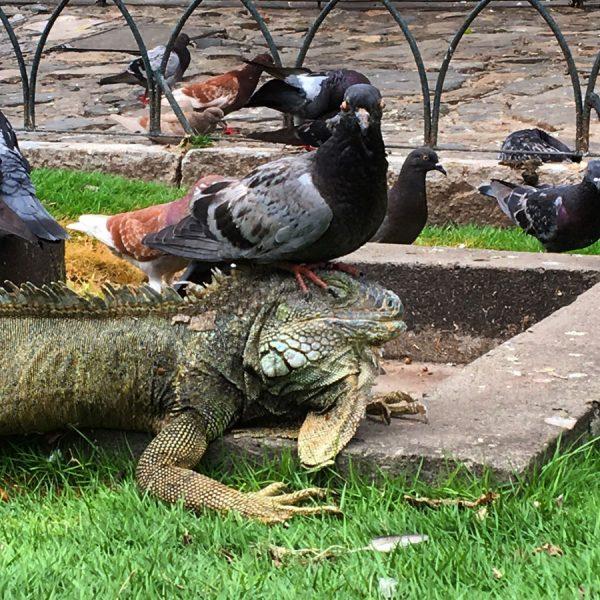 Ecuador Guayaquil Iguana Pigeon
