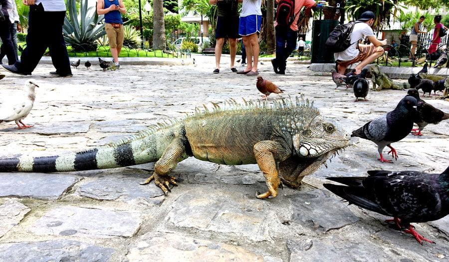 Ecuador Guayaquil Iguana Walking The Occasional Traveller