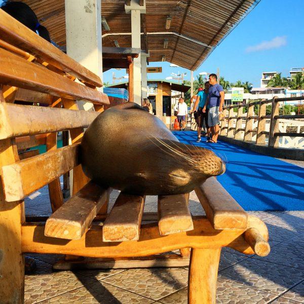Galapagos Santa Cruz Sealion Sleeping