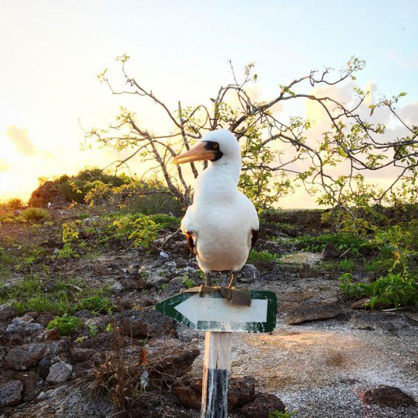 Galapagos Genovesa Boobie Sign
