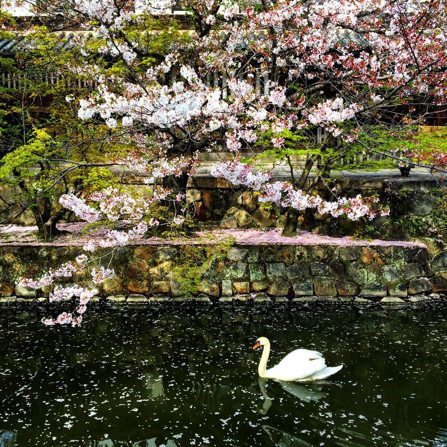 Kurashiki River Swan Sakura