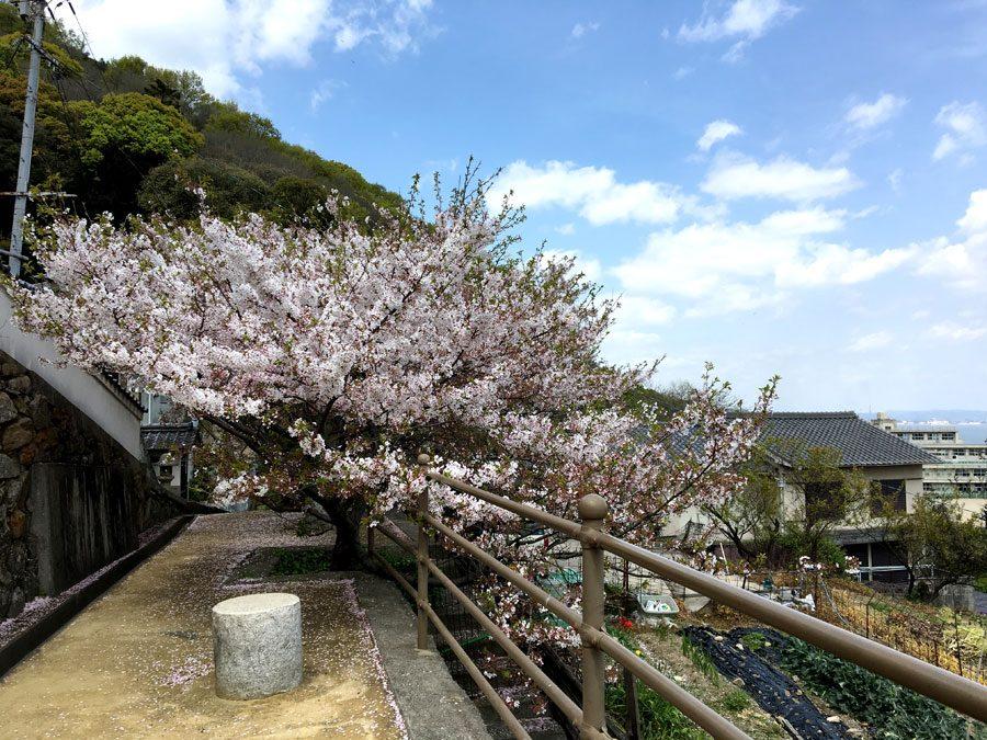 Tomonoura Ioji Sakura Trees