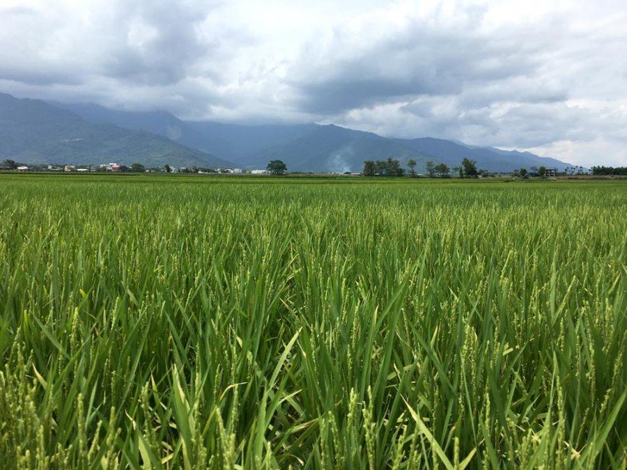 Taitung Chishang MrBrown Rice Field