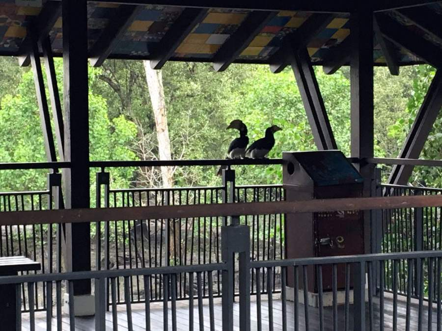 Kranji Sungei Buloh Hornbills