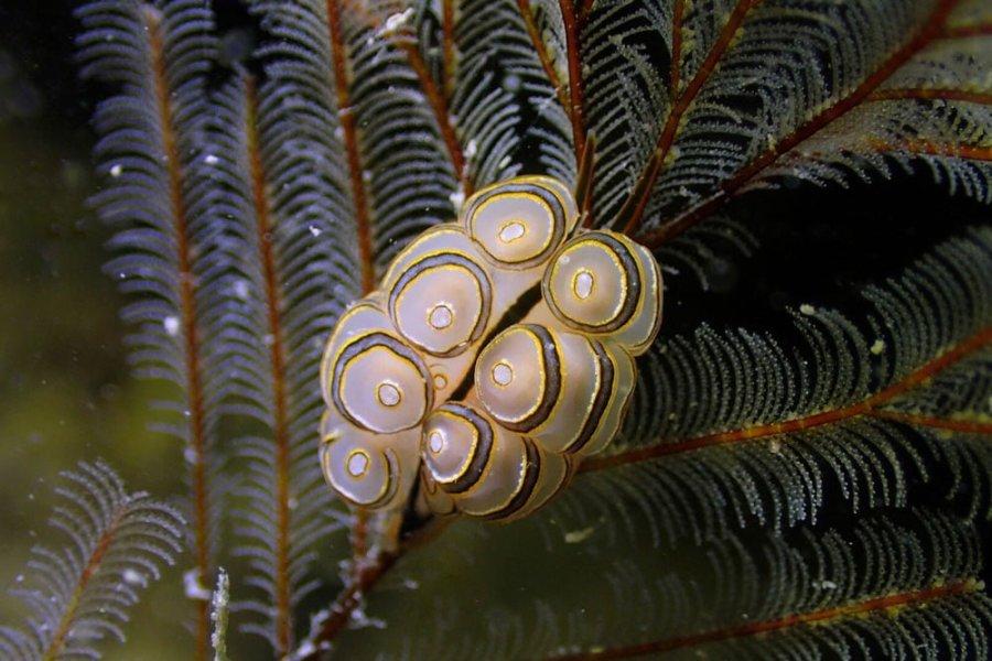 Donut Nudibranch by Gina Tan, Hantu Blog