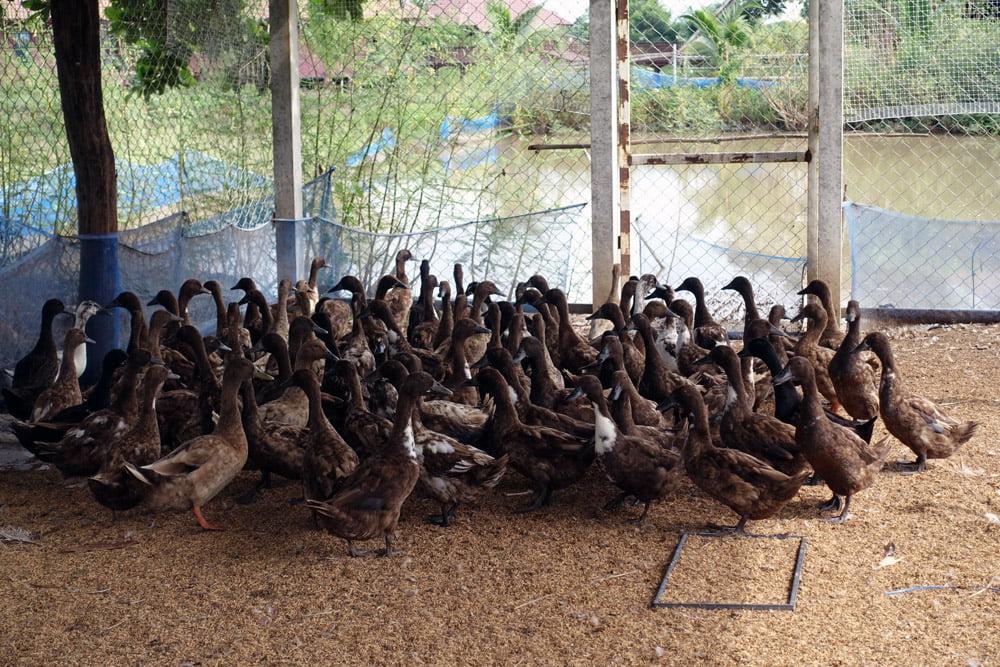 Sukhothai Organic Agriculture Ducks Cage