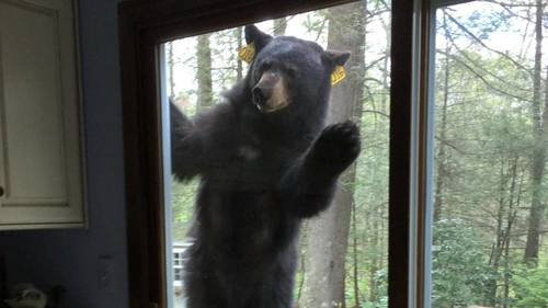 Bear-at-off-grid-cabin