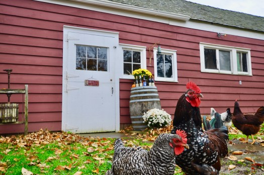 Chickens outside of tasting room