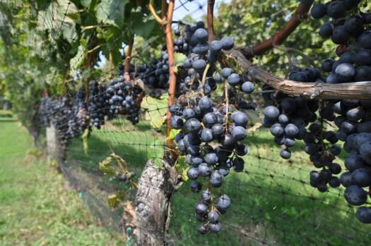 Merlot grapes hanging in vineyard.