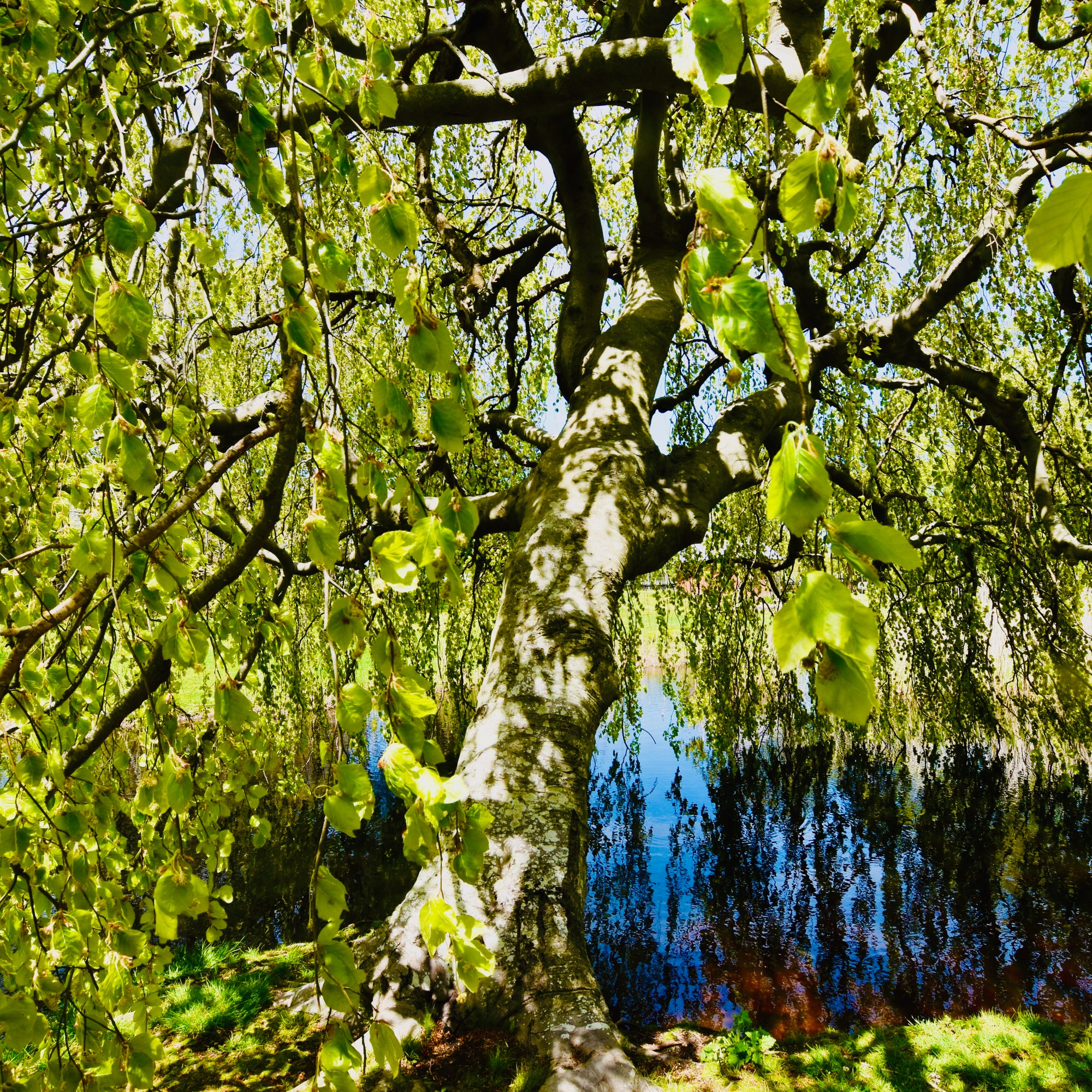 Weeping birch tree over pond