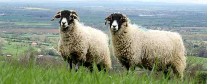 Two sheep standing in deep grass on the edge of a hill with the Vale of Evesham in the background