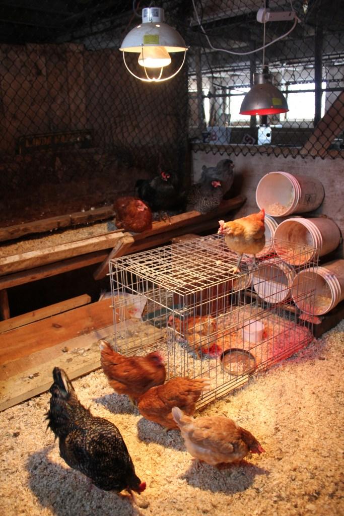 convert a stall into a chicken coop