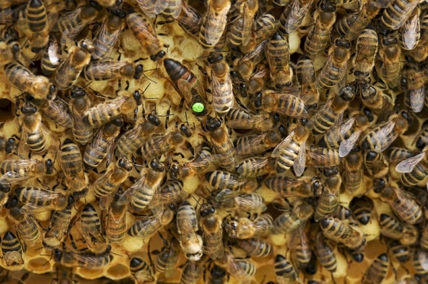 How to find a Queen bee