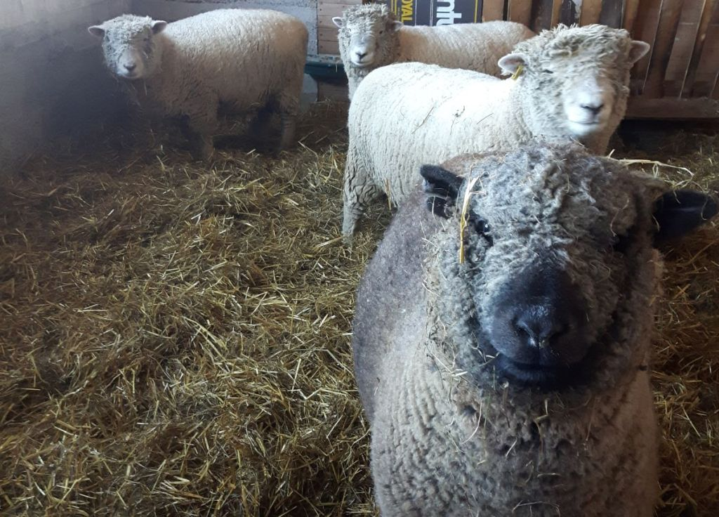 Four Babydoll Shouthdown Sheep in the barn.