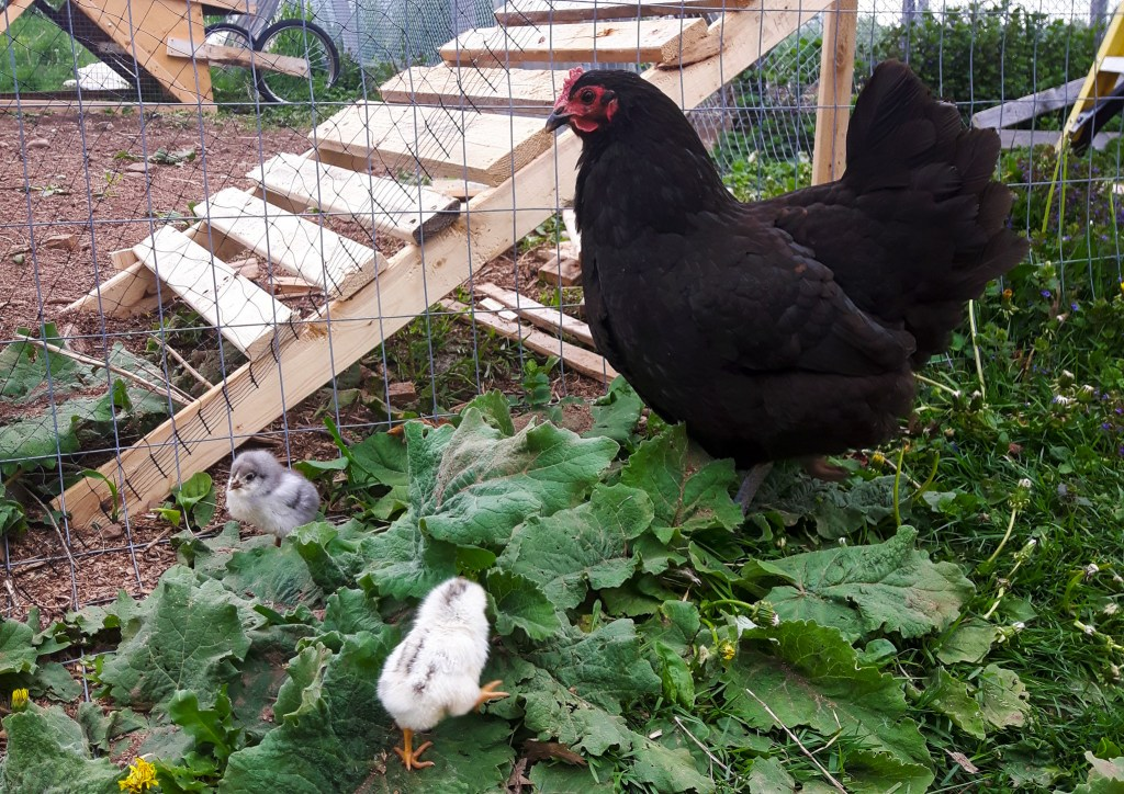 Hen and her chicks outside.