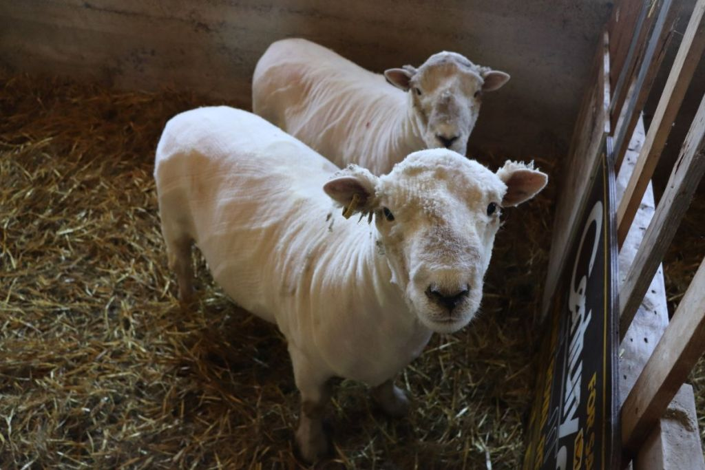 Two Southdown Babydoll Sheep who have just been sheared.