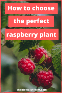 Red, yellow, purple, black? Summer or fall-bearing? Choosing among the dazzling array of delicious raspberry types can be challenging. Here's a simple guide to help you pick the perfect raspberry plant for your backyard.
