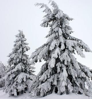 lebende_weihnachtsbaeume