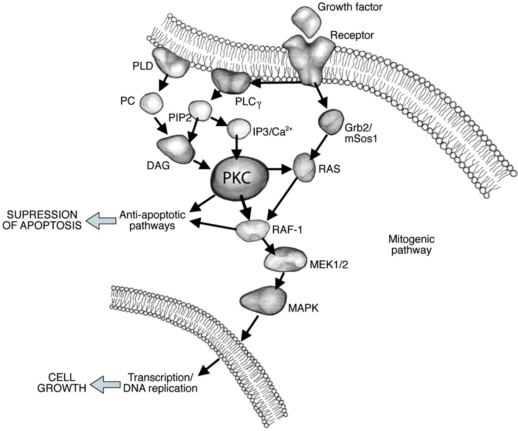 Targeting Protein Kinase C New The Utic Opportunities