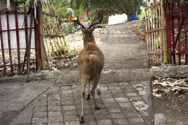 menjangan_deers2
