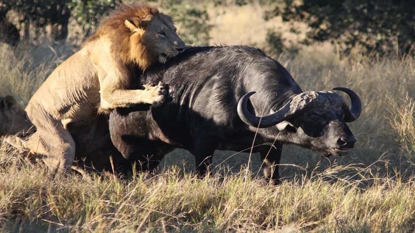 Lion Hunting down a Buffalo
