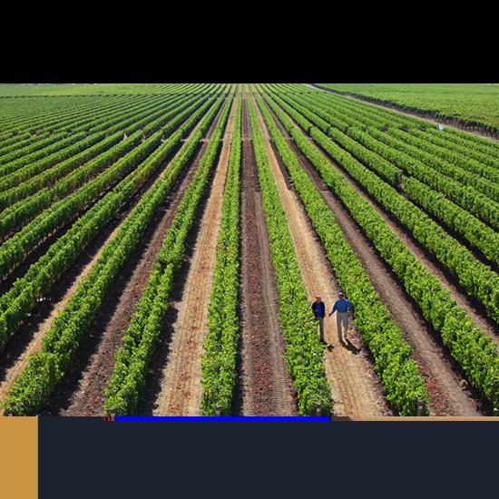 Vineyard Dominus Estate